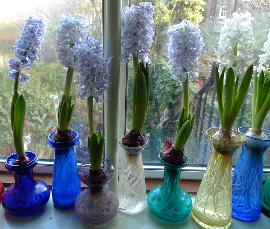 Maxys Hideout Making Hyacinths Bloom In Winter
