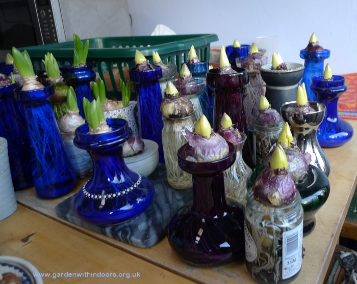 forcing hyacinths in hyacinth vases