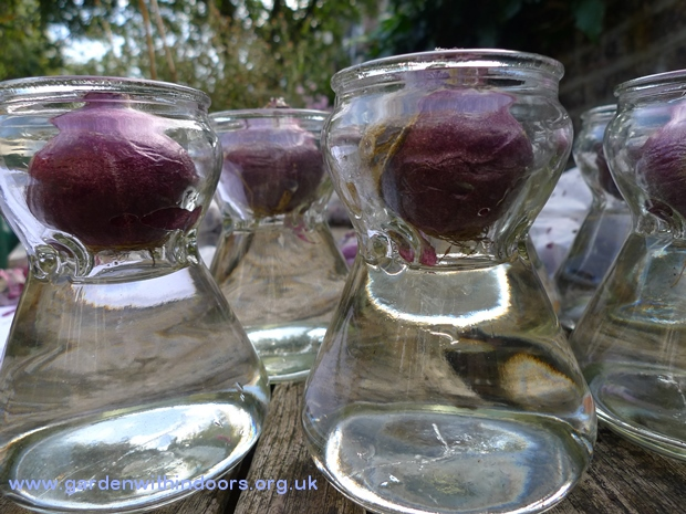 hyacinth vases water level