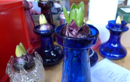hyacinth bulb with bulblet in hyacinth vase