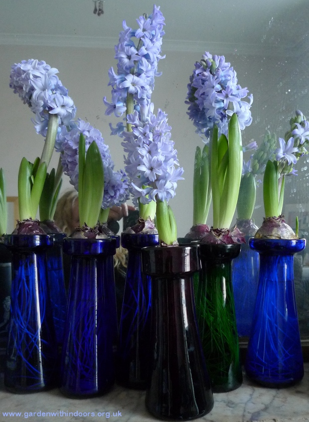 hyacinths in hyacinth vases