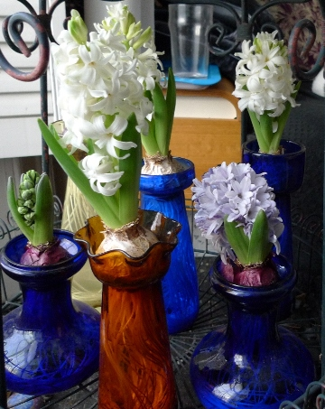 forced hyacinths day after Christmas