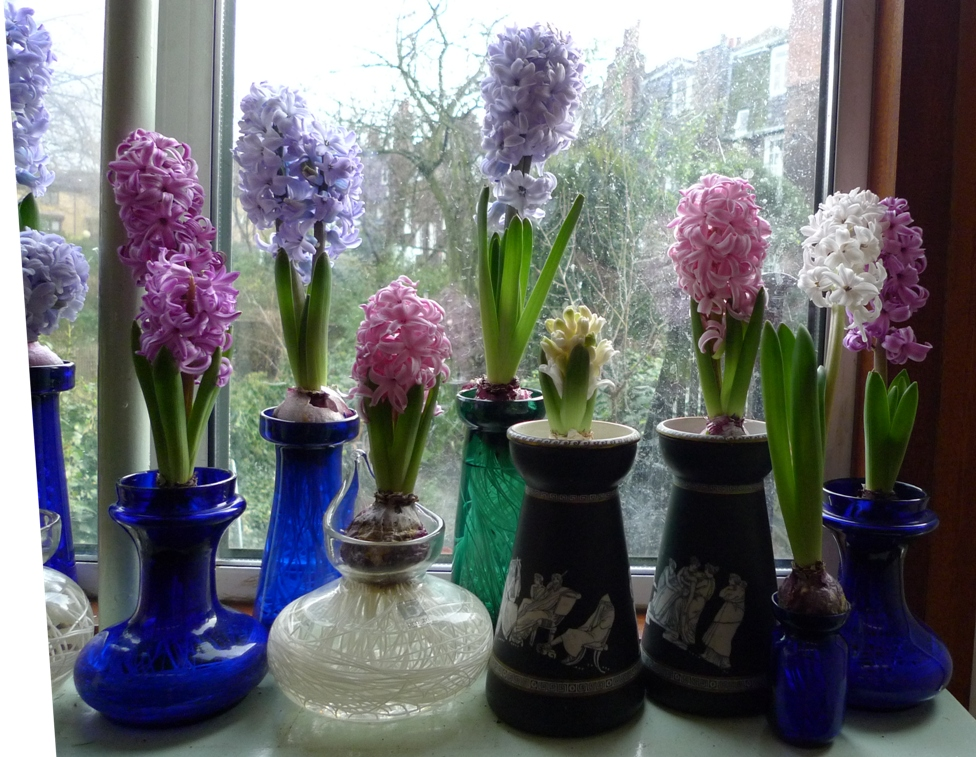 Purple Hyacinths Garden Withindoors