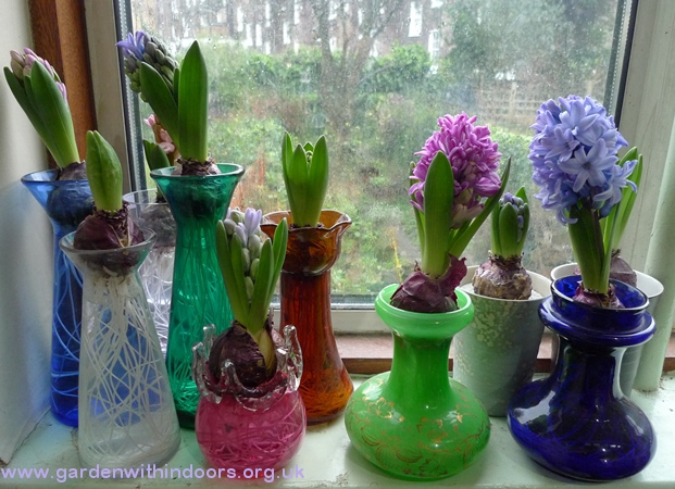 forced hyacinths in hyacinth vases