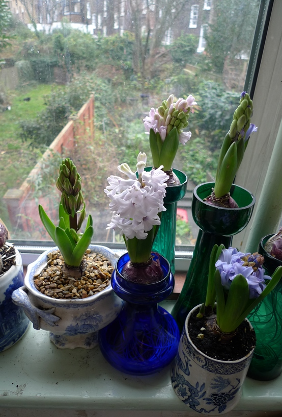 force hyacinths in vases on christmas eve