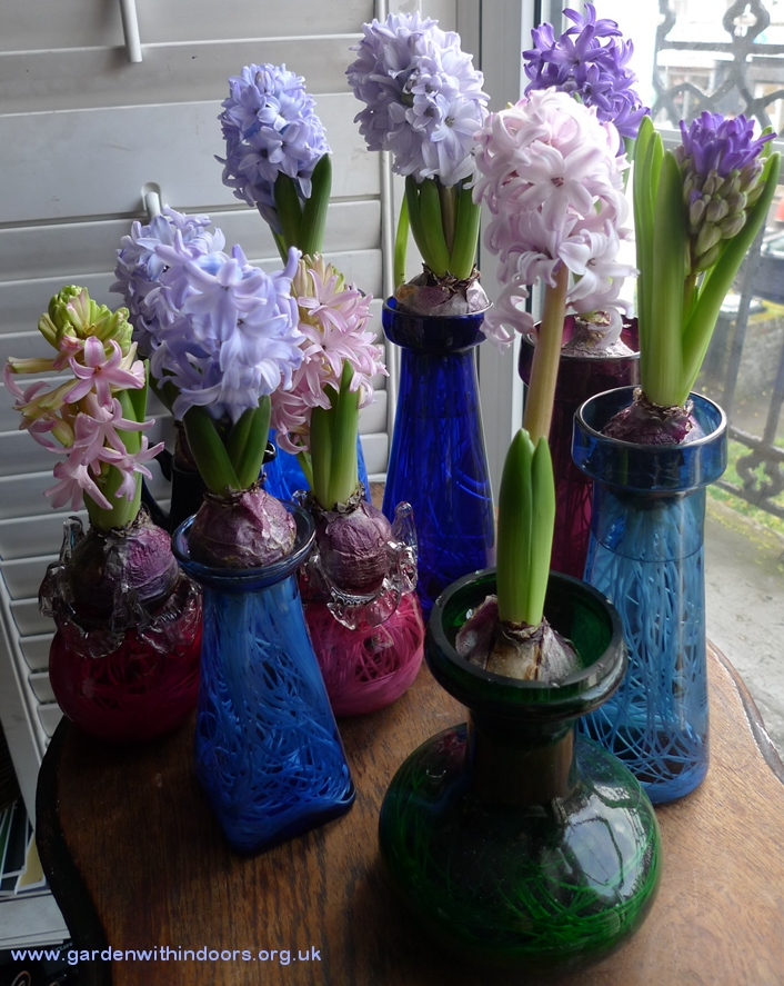 forced hyacinths in bloom in hyacinth vases