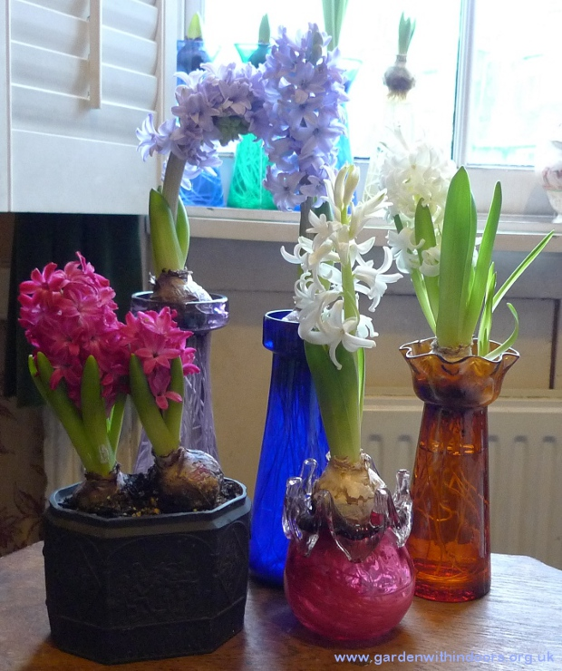 forced hyacinths in bloom