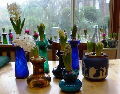 hyacinth buds and blooms