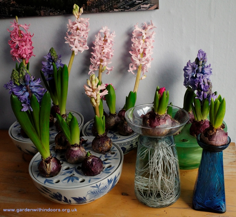 hyacinth vases in bloom