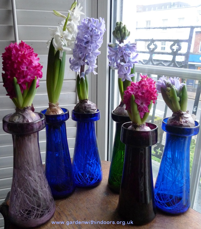 forced hyacinths in antique vases