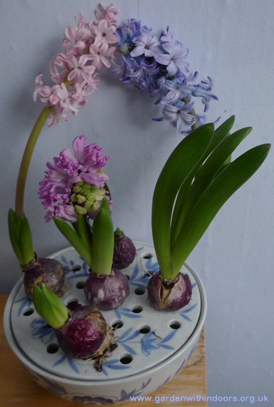 forced hyacinths in bulb bowl
