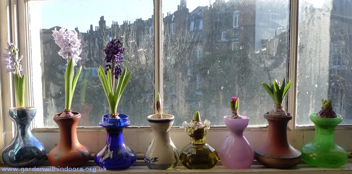 hyacinth vases with forced hyacinths
