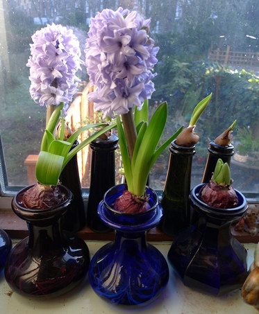 Delft Blue forced hyacinths in vases