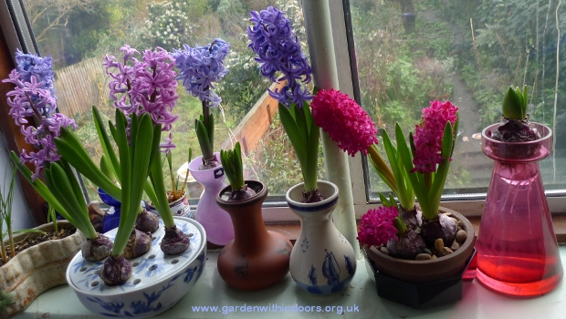 hyacinths in bloom in hyacinth vases and bowl