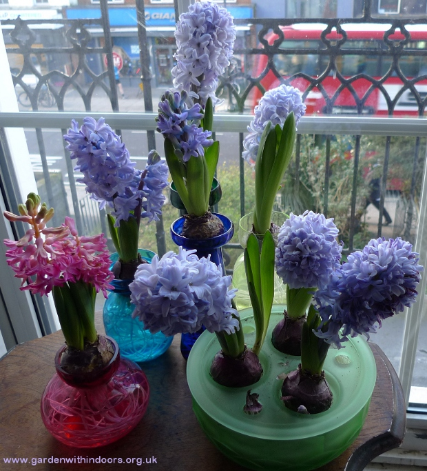 forced hyacinths in bloom in hyacinth vases and bowl