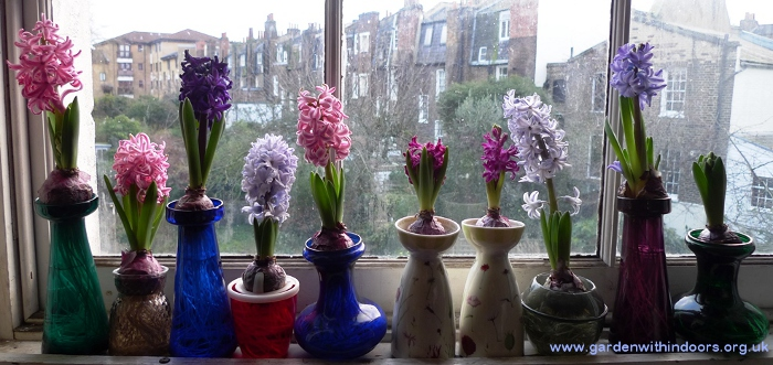 forced hyacinth bulbs blooming in hyacinth vases