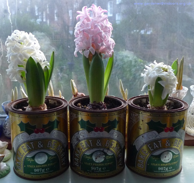 hyacinths in Golden Syrup tins