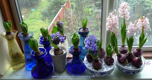 forced hyacinth bulbs in hyacinth vases