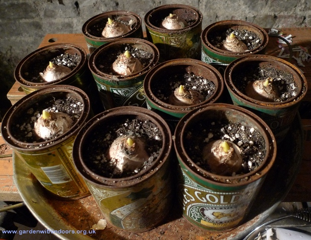 hyacinth bulbs growing in Golden Syrup tins
