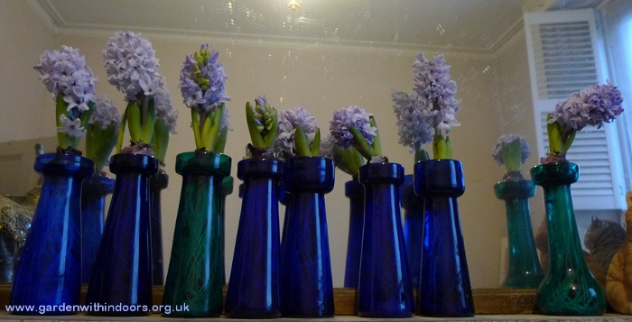 forced hyacinths in antique hyacinth vases