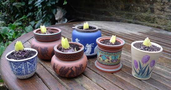 pots with forced hyacinth bulbs ready to come out of the dark
