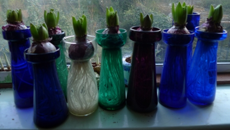 hyacinths in tall vases week out of cellar