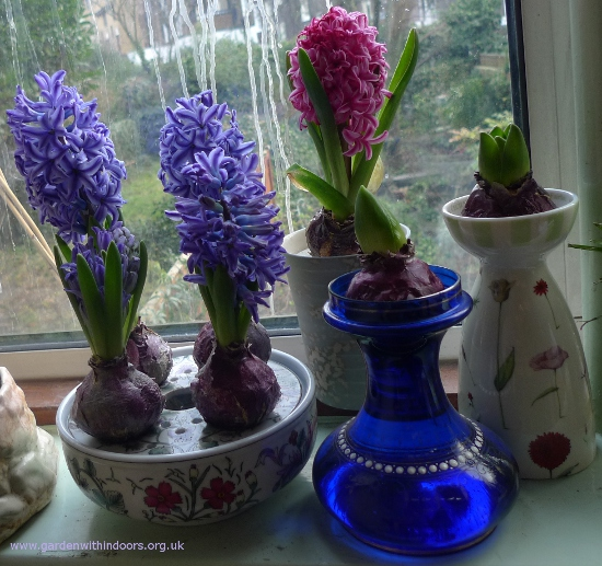 forced hyacinths in bloom in bulb bowl