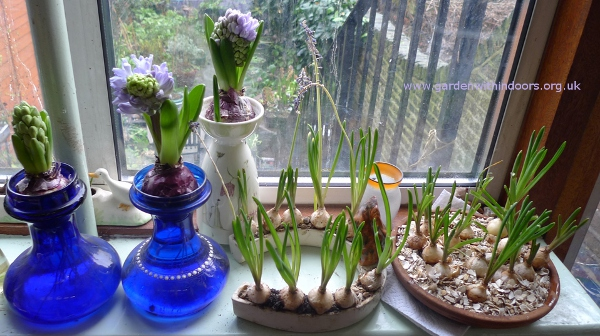 forcing muscari indoors