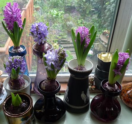 hyacinth flowers in forcing vases