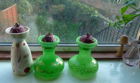 hyacinth vases with hyacinth bulbs
