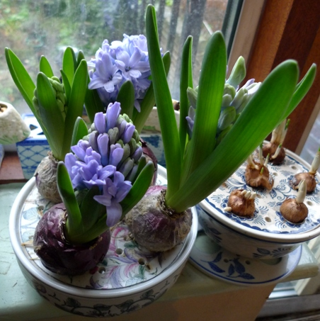Delft Blue hyacinths in Past Times bulb bowl
