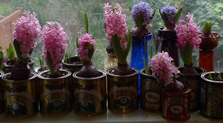 pink pearl hyacinths in golden syrup tins