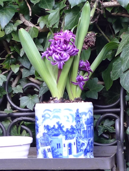 purple sensation hyacinth with additional flowering