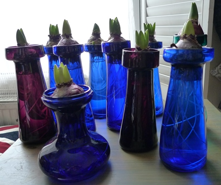 hyacinth bulbs in hyacinth vases