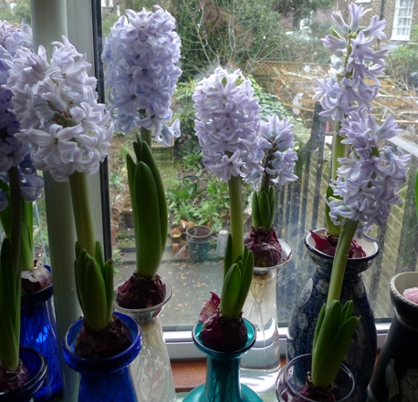 forced Sky Jacket hyacinths in vases