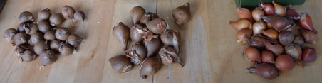 small tulip bulbs for forcing