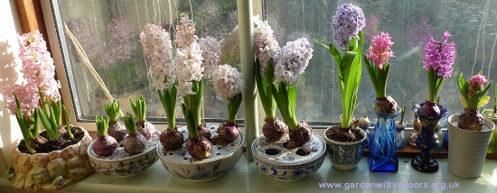 forced hyacinths in vases and bulb bowls