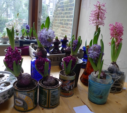 spent hyacinth blooms