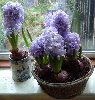Delft blue hyacinths in bloom in January