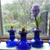selection of Delft Blue hyacinths