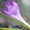 crocus bloom mid-January