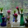 panorama of hyacinths in vases