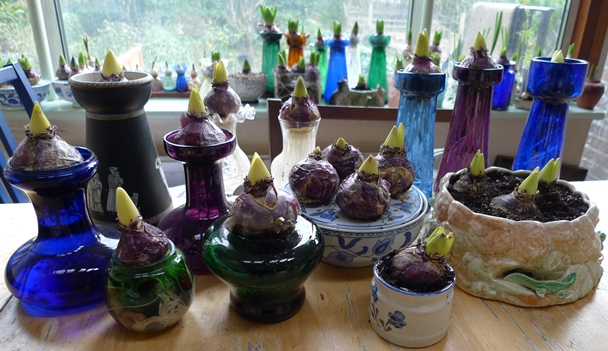hyacinth vases with forced hyacinth bulbs