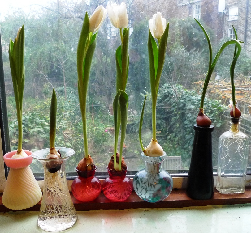 Amaryllis garden withindoors for Vase amaryllis