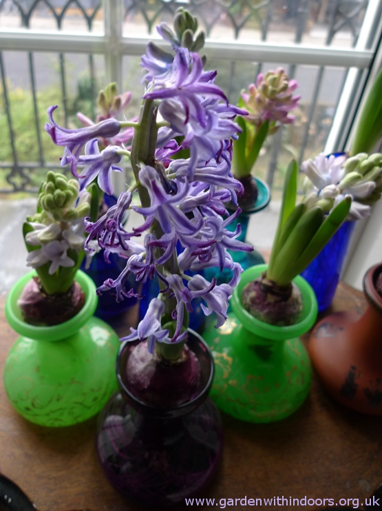 wilting forced Blue Jacket hyacinth