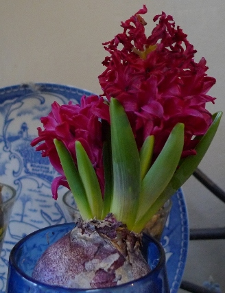 double-stemmed Jan Bos hyacinth