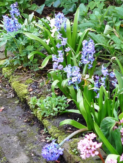 forced hyacinths planted out in flower