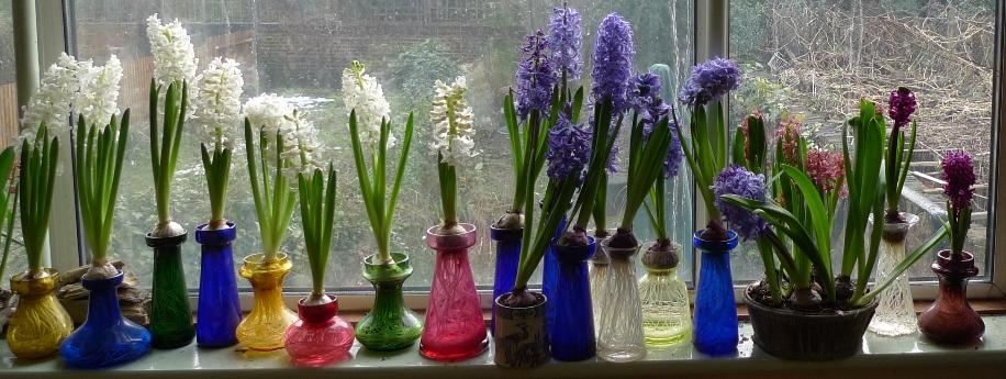 Growing Hyacinth Bulbs In A Jar Revolutionhr