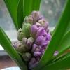 Miss Saigon hyacinth buds