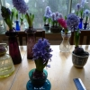 hyacinths in bloom in vases mid-January